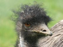 Emu looking out at the day stock photos