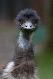 Emu. This emu looks right at the camera as it is foraging for food Stock Images