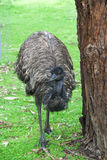 Emu next to tree. An emu walking on a grassed area Stock Images