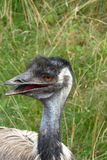 Emu. Nice gray emu with grass Royalty Free Stock Images
