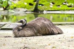 emu odpoczynku wp8lywy Obrazy Royalty Free