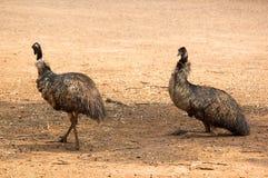 Emu odpoczywa w cieniu Zdjęcia Royalty Free