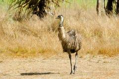 Emu odprowadzenie w obszarze trawiastym, Queensland, Australia Zdjęcie Stock