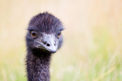 Emu Ostrich. Portrait of an Australian Emu ostrich with green background Stock Photo