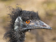Emu ostrich Royalty Free Stock Photo