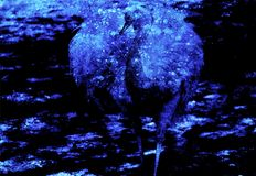 Emu ostrich bird with beautiful white feathers on graphic background. Emu ostrich bird with beautiful white feathers on graphic background Royalty Free Stock Image
