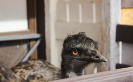 EMU ostrich with black elongated neck with a sad look behind the fence in the zoo on a Sunny day. On the street stock images