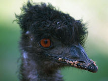 Emu ostrich head Stock Images