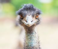 Emu or Ostrich looking straight with two orange eyes.  Royalty Free Stock Images