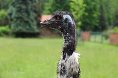 Emu ostrich, portrait Royalty Free Stock Image