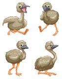 Emu ostrich series Royalty Free Stock Photos