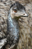 Emu perplexe Images stock