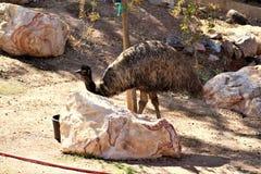 Phoenix Zoo, Arizona Center for Nature Conservation, Phoenix, Arizona, United States. Emu at the Phoenix Zoo, Center for Nature Conservation, located in Phoenix Royalty Free Stock Photo