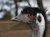 Emu portait. Closeup profile pf a Emu, background blurred Royalty Free Stock Photos