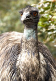 Emu Portrait Royalty Free Stock Image
