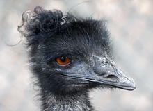 Free Emu Portrait Royalty Free Stock Photography - 11146707