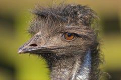 Emu-Portrait Lizenzfreies Stockfoto