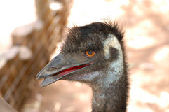 Emu portrait. Stock Photos
