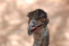 Emu portrait. Stock Image