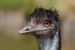 Emu portrait Stock Photography
