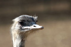 Emu portrait Stock Image