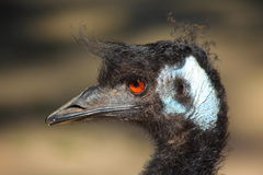 Emu bird head Stock Photography