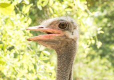 Emu head portrait (Dromaiidae) Stock Photography