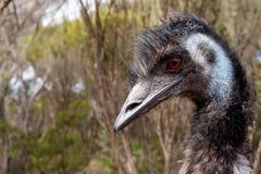 Emu portrait. Portrait of big australian bird Royalty Free Stock Photo
