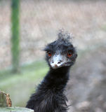 Emu. A portrait of a black emu Stock Photography