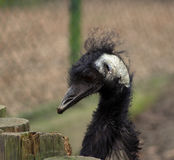 Emu. Portrait of an black head of emu Royalty Free Stock Photo