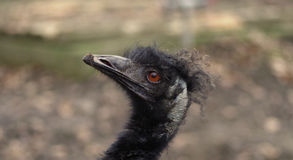 Emu portrait. A black head of an emu Stock Images