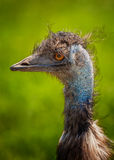 Emu Portrait Stock Images