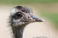 Emu portrait Royalty Free Stock Photography