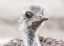 Emu portrait - Dromaius novaehollandiae, bird scene Royalty Free Stock Image