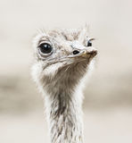 Emu portrait - Dromaius novaehollandiae, close up of bird Royalty Free Stock Photo
