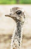 Emu portrait - Dromaius novaehollandiae, close up bird scene Stock Photography