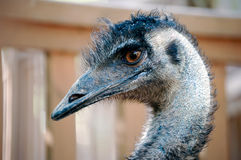 Emu portrait. A macro shot of the head of an emu Royalty Free Stock Photography