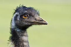 Emu portrait, a native Australian flightless bird. Royalty Free Stock Photo