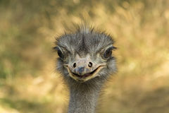 Emu portrait. Portrait of Emu with open mouth Stock Image