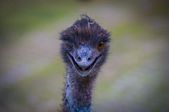 Emu portrait Stock Photos