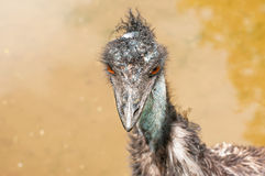 Emu. Portrait of an Emu at zoo Royalty Free Stock Photo