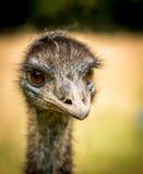 Emu portret Obrazy Royalty Free