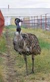 Emu poserar i paddocken Arkivfoto