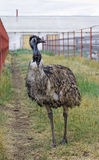 Emu poses in the paddock Stock Photo