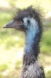 Emu posing Stock Image