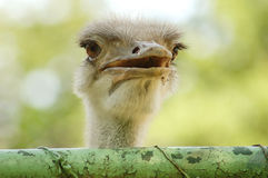 Emu  prisoner Royalty Free Stock Image