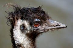 Emu Profile Royalty Free Stock Photos