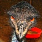 Emu ptak zdjęcia stock