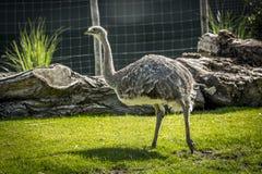 Emu ptak Fotografia Stock