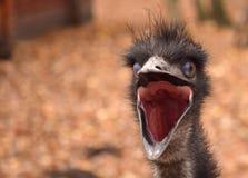 Emu ptaka głowa Obrazy Royalty Free